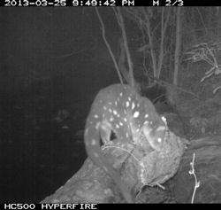 Quoll captured on infrared camera in Scenic Rim Photo © Wildlife Queensland